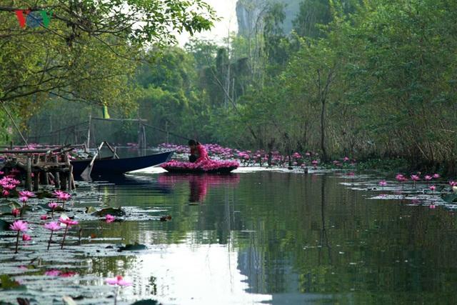 Điểm hút mắt du khách nhất chính là suốt dọc con suối Yến đều phủ một sắc hồng của những bông hoa súng.