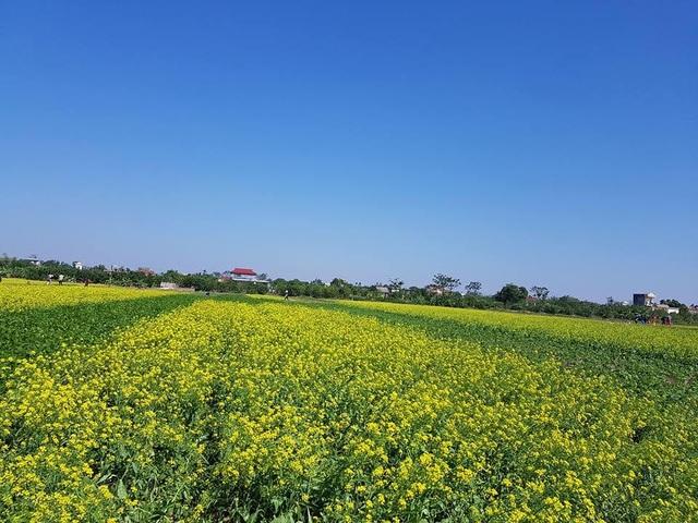 Ngỡ ngàng với cánh đồng hoa cải vàng rực rỡ đẹp bậc nhất Việt Nam - 1