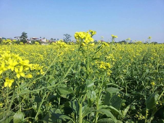 Ngỡ ngàng với cánh đồng hoa cải vàng rực rỡ đẹp bậc nhất Việt Nam - 3