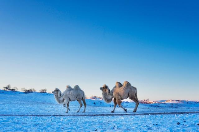 Đàn lạc đà đi qua băng tuyết