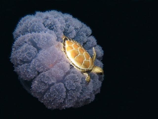 Một con rùa biển tý hon đang cưỡi trên mình một con sứa.