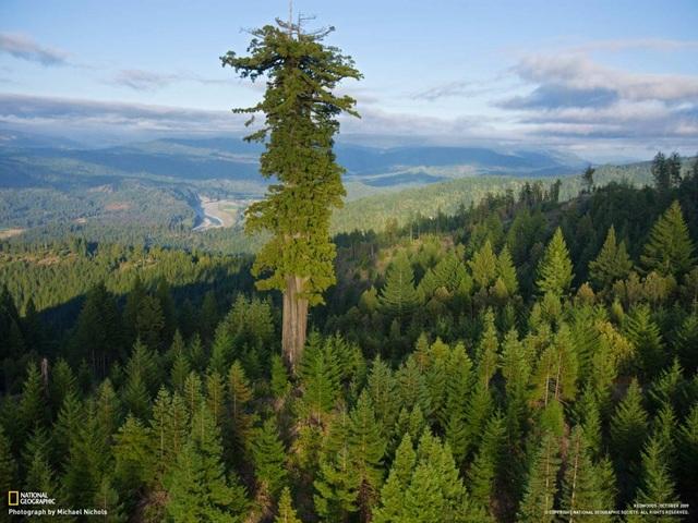 Hyperion là cây cổ thụ cao nhất thế giới. Hiện cây đang nằm tại rừng quốc giaHumboldt Redwoods, bang California, Mỹ, với chiều cao khoảng 112.5m. Hình ảnh của cây cổ thụ cao nhất thế giới do nhiếp ảnh gia James Balog chụp. Anh cho biết, bản thân gặp nhiều khó khăn mới thực hiện được bức hình chụp cây trọn vẹn từ gốc tới ngọn. Được biết, cây Hyperion vào khoảng 700-800 năm tuổi.
