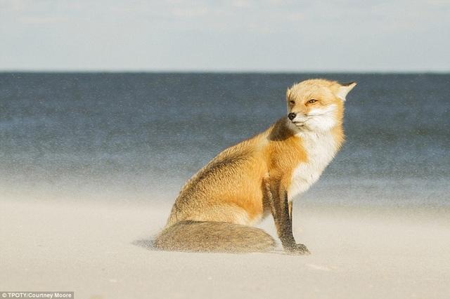 Đến từ Mỹ, nhiếp ảnh gia 18 tuổi Courtney Moore giành giải thưởng ở hạng mục dành cho nhiếp ảnh gia trẻ từ 15-18 tuổi, với tác phẩm một con cáo đang đứng trong cát. Hình ảnh chụp tại công viên Island Beach State, New Jersey, Mỹ.