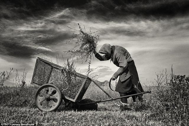 Nhiếp ảnh gia Jeremy Woodhouse đến từ Anh với tác phẩm một bà lão đang cắt cỏ để nuôi gia súc ở Coltesti, Romania.