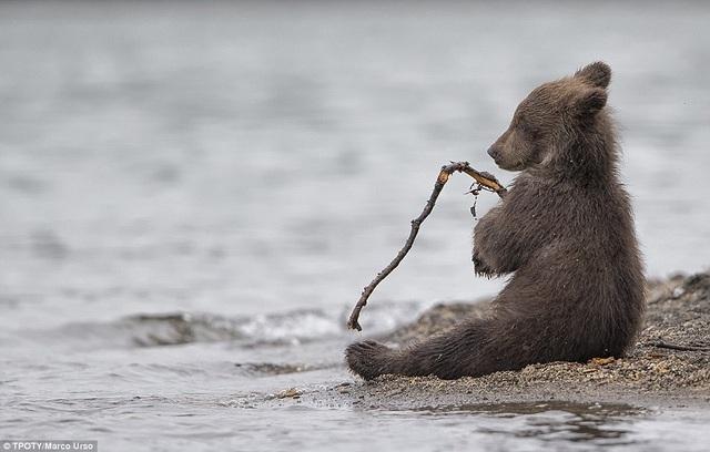 """Nhiếp ảnh gia Marco Urso người Italia bắt gặp khoảnh khắc rất đáng yêu khi anh thấy chú gấu nhỏ đang chơi đùa với que củi ở khu vực Kamchatka, Nga. Tác phẩm được trao giải thưởng đặc biệt trong hạng mục """"Thiên nhiên và động vật hoang dã""""."""