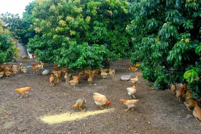 Người ta chọn loại gà thả vườn với thịt săn chắc để làm món ăn