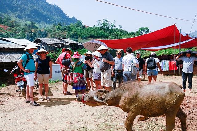 Khách quốc tế rất thích ngắm những con trâu được bán trong chợ.