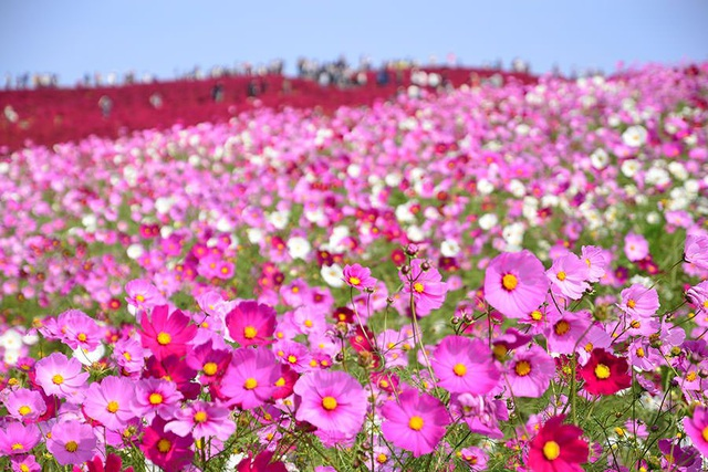 Tại đây, bạn có thể ngắm cảnh đẹp mùa thu tạo nên bởi hơn 2 triệu cành hoa Cosmos và thảm cỏ Kochia!