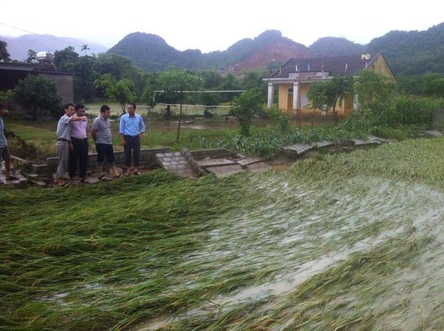 Lúa ở huyện Quỳ Hợp gục đổ.