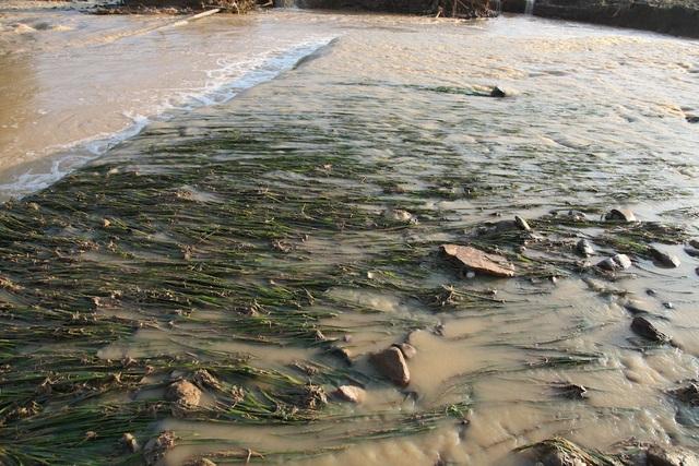 Hàng chục ha lúa đang thời kỳ trổ bông dọc theo con suối đã bị lũ nhấn chìm mất trắng.