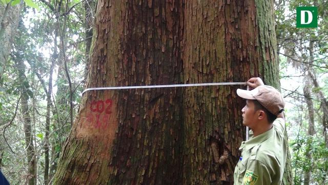 Phần lớn, cây có đường kính 1,5m- 2,5m; đặc biệt có một cá thể cây khổng lồ, có đường kính 3,7 mét.