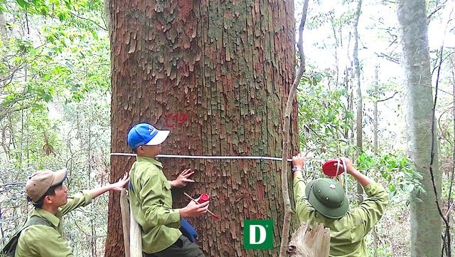 Cán bộ của Khu bảo tồn thiên nhiên Pù Hoạt làm công tác kiểm đếm và đánh dấu từng cây sa mu thuộc quần thể cây lớn nhất Việt Nam.