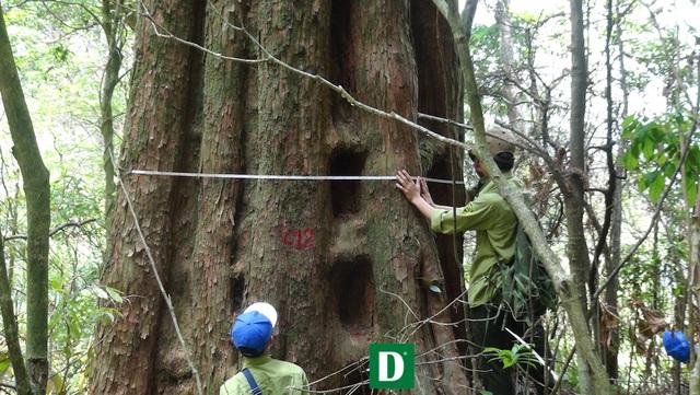 Chiêm ngưỡng quần thể sa mu dầu lớn nhất Việt Nam - 13