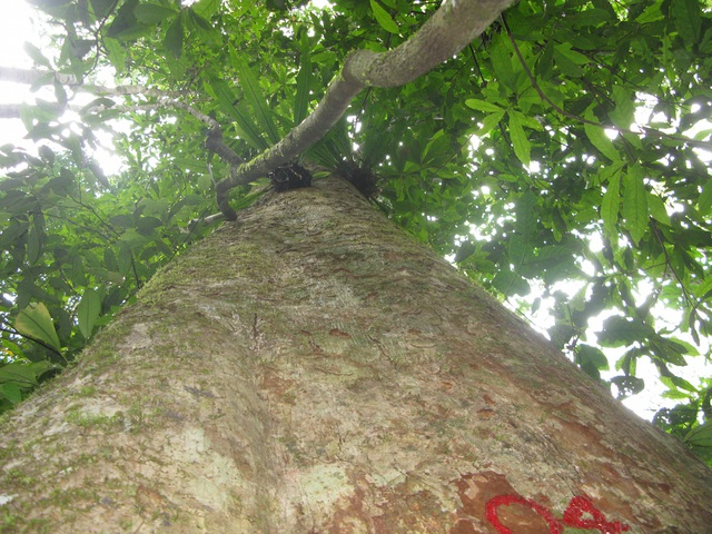 Một cây sa mu dầu lớn được kiểm đếm, ghi số ở khu bảo tồn thiên nhiên Pù Hoạt.