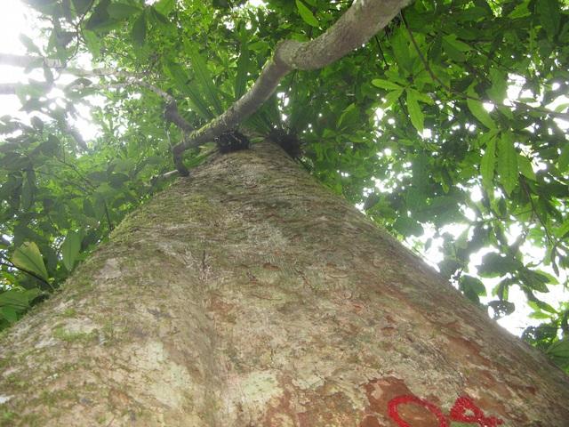 Sa mu dầu có tên khoa học là Cunninghamia konishii Hayata họ Hoàng đàn (Cupressaceae). Tên địa phương (tiếng Thái) gọi là cây Lông Lênh; một số nơi còn gọi là cây ngọc am.