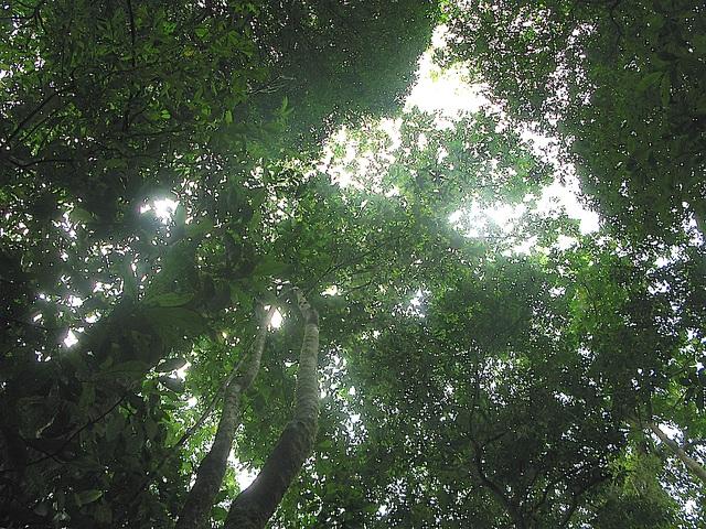 Trước thực trạng loại cây quý hiếm đang dần tuyệt chủng, và để gìn giữ được biểu tượng hùng vĩ của núi rừng, góp phần bảo tồn nguồn gen quý của quốc gia - Hiện quần thể cây sa mu dầu và săng vì đã được công nhận là cây di sản của Việt Nam.