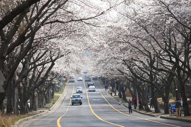 Con đường hoa anh đào ở Đại học Jeju.