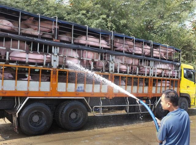 Theo kênh CCTV đưa tin hôm 20-11, có tới hơn 15.000 con lợn được đưa từ Việt Nam tới đây mỗi ngày. (Ảnh minh hoạ).