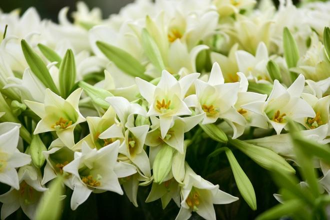 Tháng tư về, hoa loa kèn tinh khôi xuống phố Hà Nội - 6
