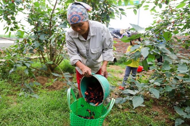 Nông dân ngoại thành Hà Nội mỏi tay thu hoạch dâu chín - 14