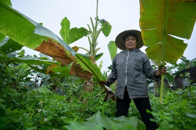 Gặp người phụ nữ hơn 35 năm hái lá chuối mưu sinh - 10