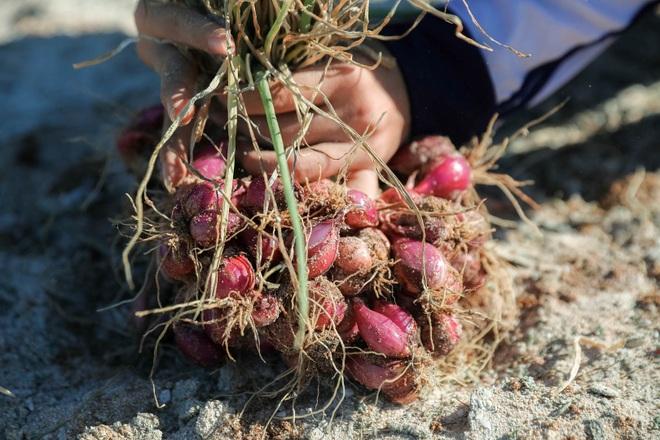 Ngọc tím Lý Sơn vào vụ: Giá cao gấp đôi, nông dân khấp khởi vui mừng - 4