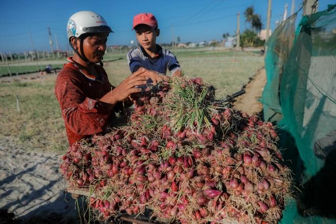 Ngọc tím Lý Sơn vào vụ: Giá cao gấp đôi, nông dân khấp khởi vui mừng - 14