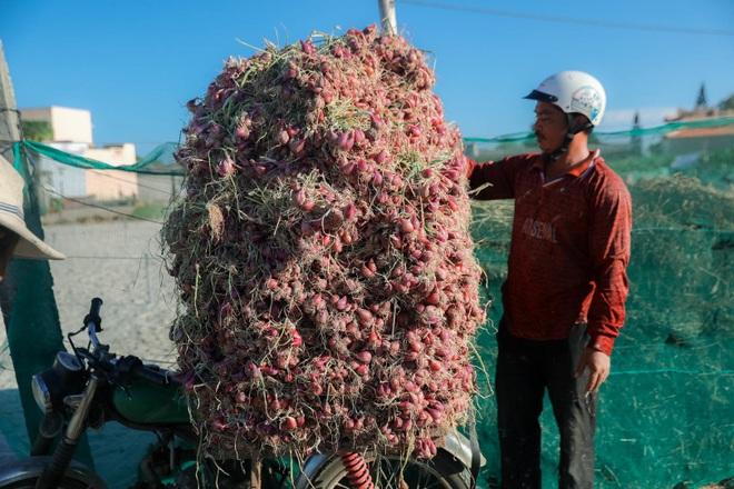 Ngọc tím Lý Sơn vào vụ: Giá cao gấp đôi, nông dân khấp khởi vui mừng - 15