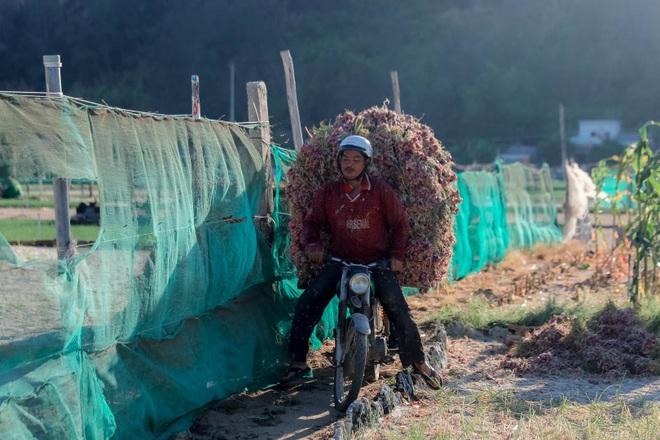 Ngọc tím Lý Sơn vào vụ: Giá cao gấp đôi, nông dân khấp khởi vui mừng - 16