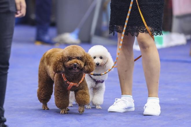 Hơn 200 chú chó quý tộc giá nghìn USD thi tài giành danh hiệu tại Hà Nội - 6