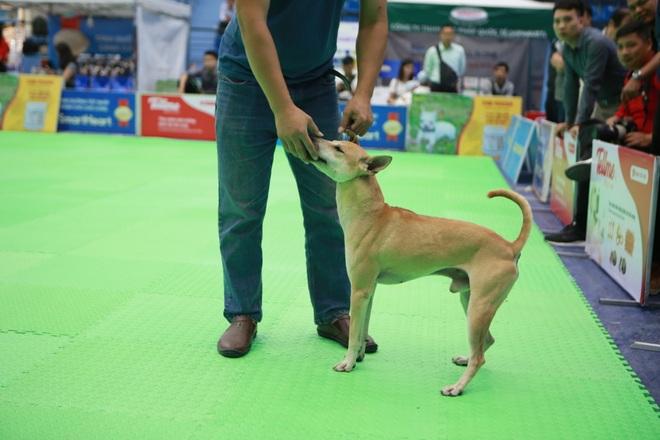 Hơn 200 chú chó quý tộc giá nghìn USD thi tài giành danh hiệu tại Hà Nội - 3