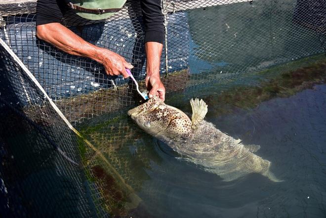 Chuyện lạ tại Quảng Ninh: Cá song mê đánh răng, thích vuốt ve, trò chuyện với người - 10