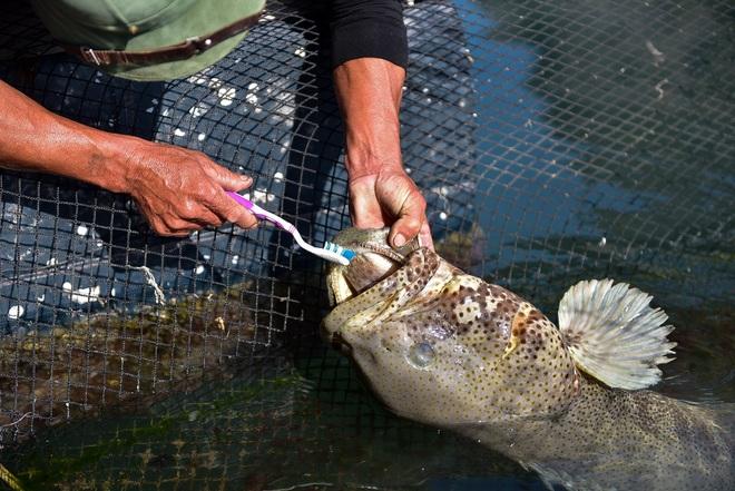 Chuyện lạ tại Quảng Ninh: Cá song mê đánh răng, thích vuốt ve, trò chuyện với người - 7