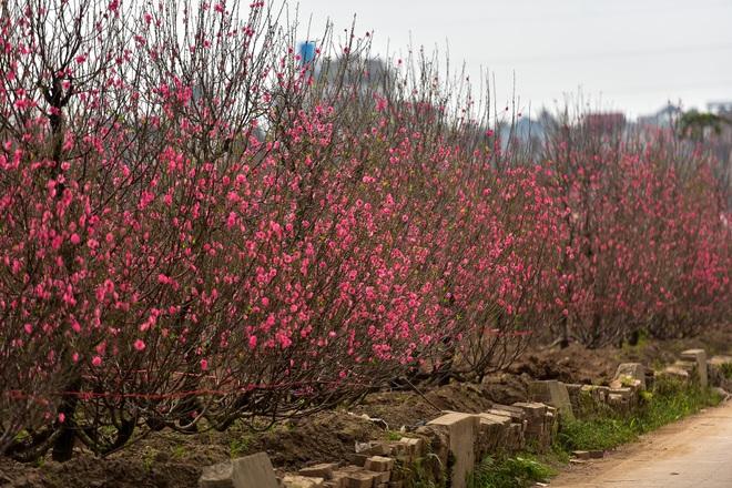 Đào Nhật Tân bung nở, rụng đỏ gốc: Khách kéo nhau chụp ảnh, nông dân thẫn thờ lo trắng tay - 23