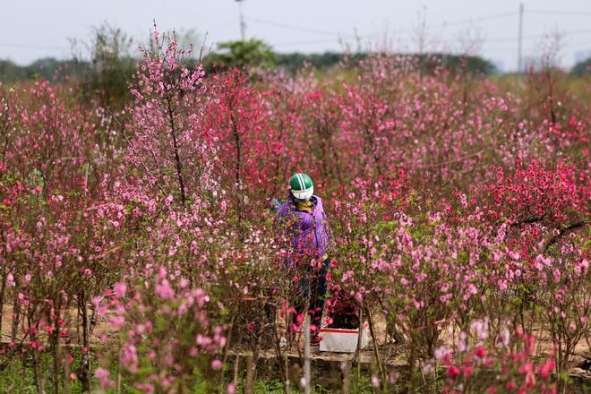 Đào Nhật Tân bung nở, rụng đỏ gốc: Khách kéo nhau chụp ảnh, nông dân thẫn thờ lo trắng tay - 2