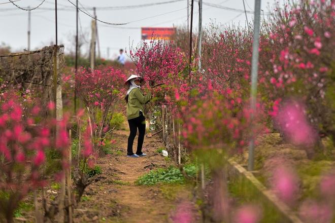 Đào Nhật Tân bung nở, rụng đỏ gốc: Khách kéo nhau chụp ảnh, nông dân thẫn thờ lo trắng tay - 3
