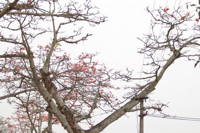 Hoa gạo nhuộm đỏ những góc trời ở ngoại thành Hà Nội - 13