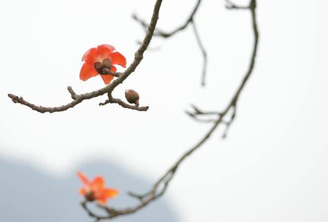 Hoa gạo nhuộm đỏ những góc trời ở ngoại thành Hà Nội - 16