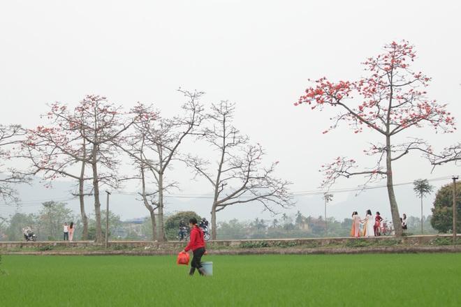 Hoa gạo nhuộm đỏ những góc trời ở ngoại thành Hà Nội - 7
