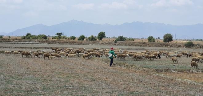 Người dân Ninh Thuận quay quắt trong cơn hạn hán kéo dài - 1