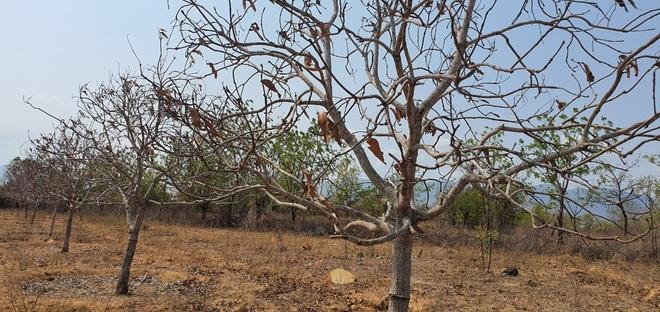 Người dân Ninh Thuận quay quắt trong cơn hạn hán kéo dài - 21
