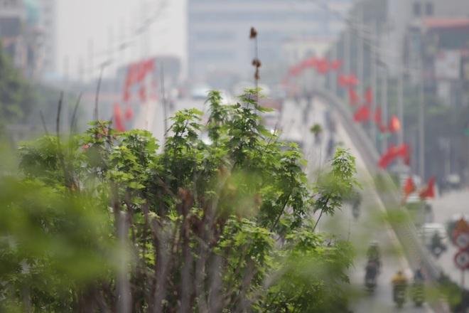 Nắng nóng thiêu đốt hàng trăm cây phong lá đỏ sống như chết khô - 21