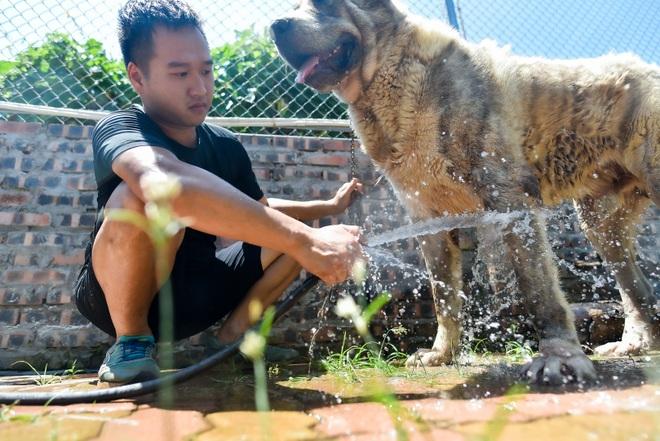 9x cực nhọc chống nóng cho đàn chó khổng lồ giá hàng trăm triệu đồng - 7