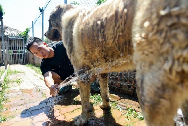 9x cực nhọc chống nóng cho đàn chó khổng lồ giá hàng trăm triệu đồng - 9