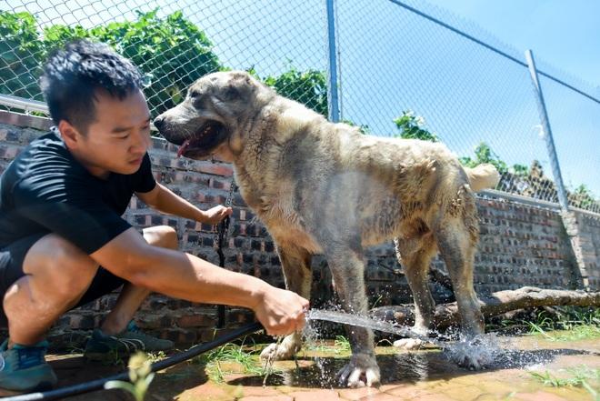 9x cực nhọc chống nóng cho đàn chó khổng lồ giá hàng trăm triệu đồng - 6