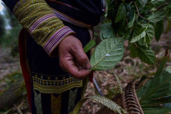 Băng rừng theo người Dao đỏ Sapa đi hái lá thuốc tắm thần dược - 19