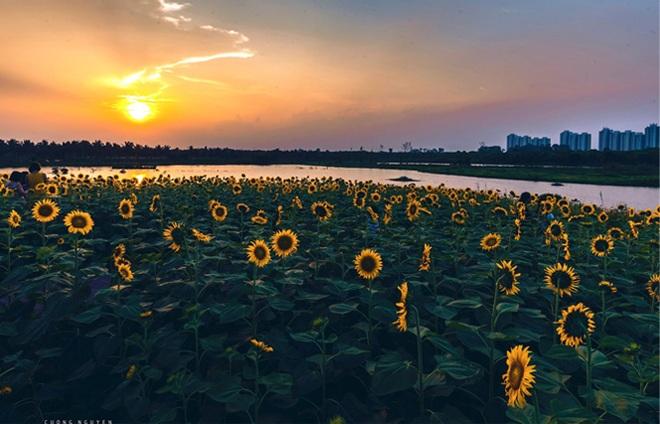 Ngắm cánh đồng hoa hướng dương rực rỡ, trải thảm vàng trong KĐT Ecopark - 5