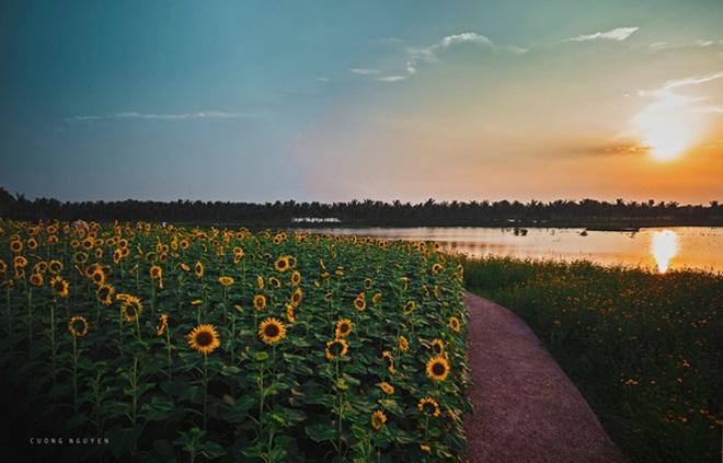 Ngắm cánh đồng hoa hướng dương rực rỡ, trải thảm vàng trong KĐT Ecopark - 6