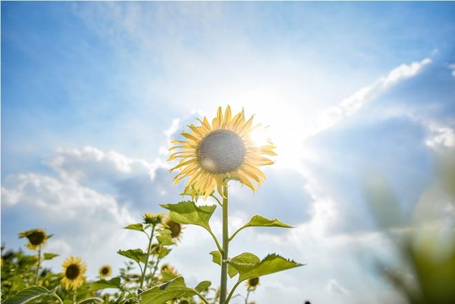 Ngắm cánh đồng hoa hướng dương rực rỡ, trải thảm vàng trong KĐT Ecopark - 9