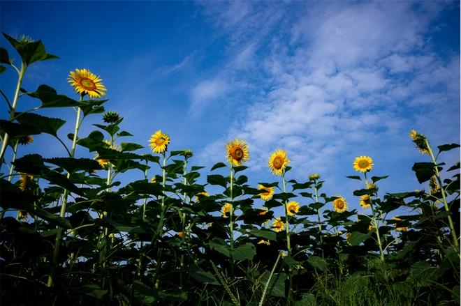 Ngắm cánh đồng hoa hướng dương rực rỡ, trải thảm vàng trong KĐT Ecopark - 8